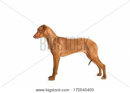 Rhodesian ridgeback dog standing in show position seen from the side isolated on a white background