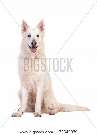 Sitting white swiss shepherd dog facing the camera isolated on a white background