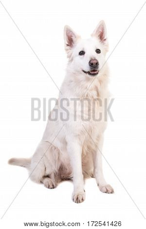 Sitting white swiss shepherd dog isolated on a white background