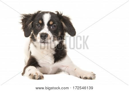 Cute mixed breed black and white puppy dog facing the camera lying on the floor on a white background seen from the front in a horizontal image