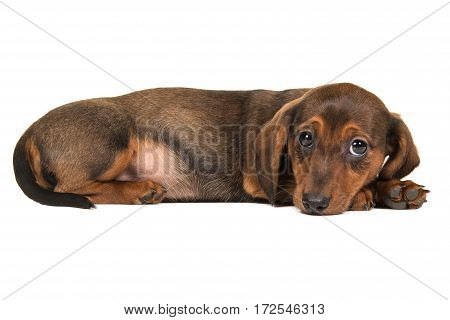 Cute dachshund puppy seen from the side lying down on the floor with its head on the floor isolated on a white background