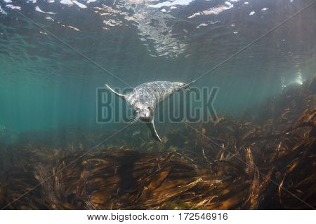 Phoca Largha (larga Seal, Spotted Seal) Underwater Pictures