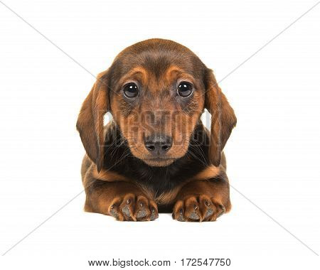 Lying down badger-dog puppy seen from the front facing the camera isolated on a white background