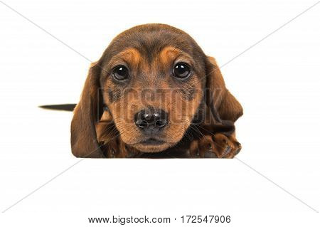 Lying down badger-dog puppy seen from the front with its head on the floor facing the camera isolated on a white background