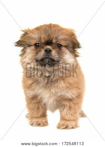 Cute standing fluffy tibetan spaniel puppy facing the camera isolated on a white background