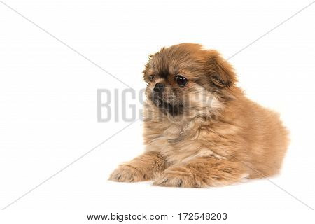 Cute lying on the floor fluffy tibetan spaniel puppy seen from the side isolated on a white background