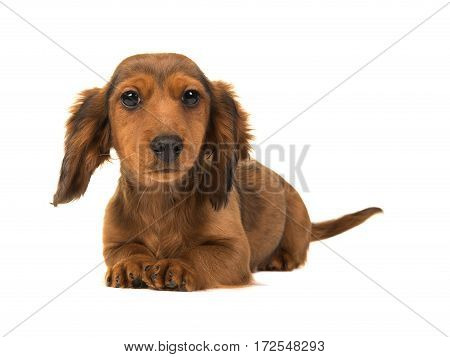 Long haired badger-dog puppy lying on the floor with head up facing the camera isolated on a white background