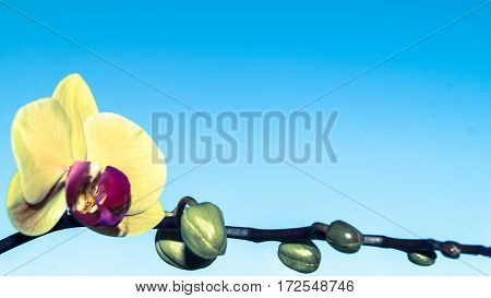 branch Orchid flower on blue background efect