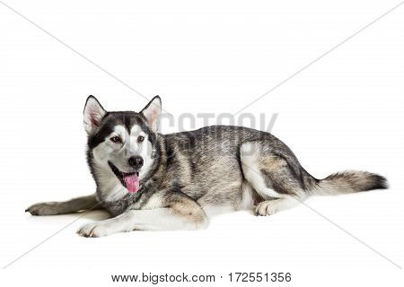 Alaskan Malamute sitting in front of white background. Dog lying on the floor