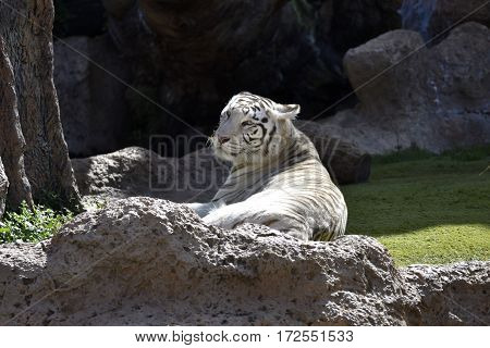 White tiger taking a rest in a park in Puerto de la Cruz Tenerife Spain.