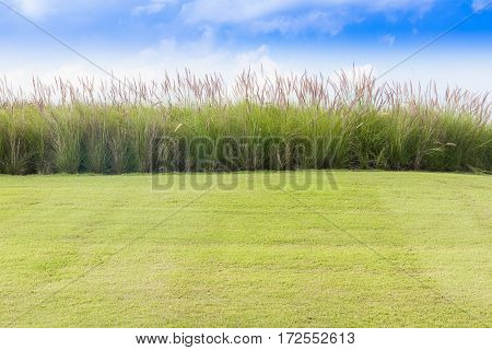 Imperata cylindrica Beauv or Cogon Grass of Feather grass with grass field in nature on blue sky background