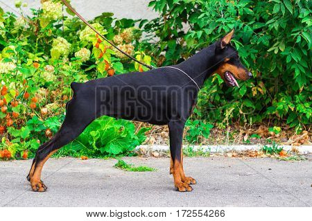 Dog Breed Doberman Standing In Front