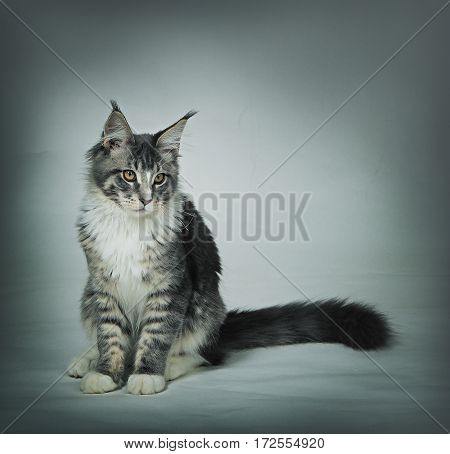 Sad kitten Maine coon on dirty grey background