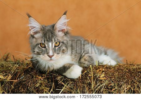 Kitten of Maine coon on haystack with brown background