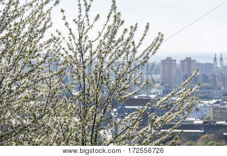 White cherry tree blossom with city in smog in background. Ostrava Czech Republic