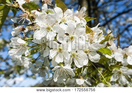 White cherry tree blossom on clear spring sunny day.