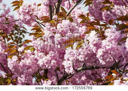 Pink tree blossom on clear spring sunny day.