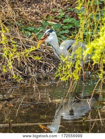 Dutch grey heron hunting and eating common European frog