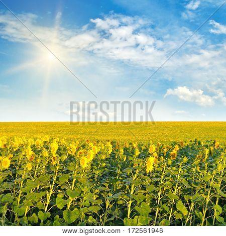 A sunflowers and sun on cloudy sky