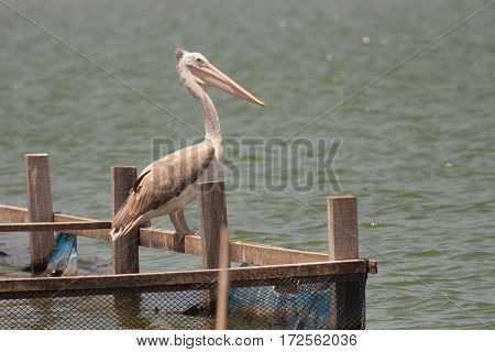 The pelican stand on the wood in the pond