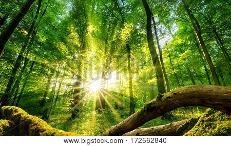 Tranquil scenery in a green forest with the sun casting enchanting rays of light through the trees