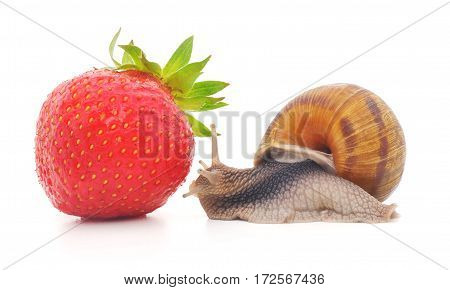 snail and strawberries on a white surface