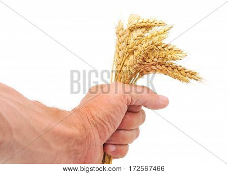 Man's hand holding wheat ears on white background.