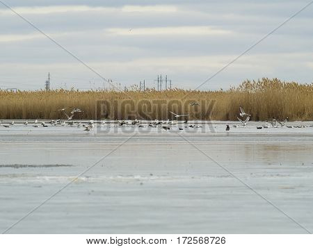 The seagulls ducks and a frozen lake
