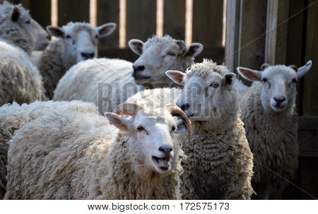 gulf coast sheep drove flock herd group