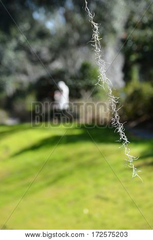 single strand Spanish moss right side focus