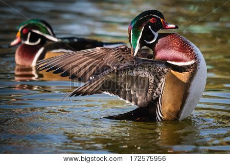 Wild wood ducks flapping their wings and swimming in a lake.