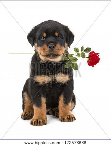 Sitting rottweiler puppy facing the camera holding a red rose in its mouth isolated on a white background