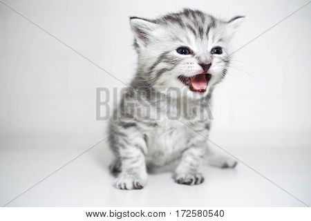 The kitten meows shouts purebred kitten. Baby kitten