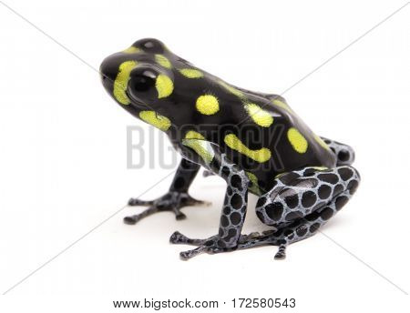 Yellow dotted poison dart or arrow frog, Ranitomeya vanzolinii. A small poisonous rain forest animal with warning colors. Isolated on white background.