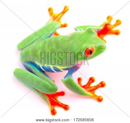 Red eyed tree frog from the tropical rain forest of Costa Rica and Panama. A cute funny exotic animal with vibrant eyes isolated on a white background.