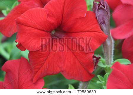 Colorful petunia flower in the garden at evening