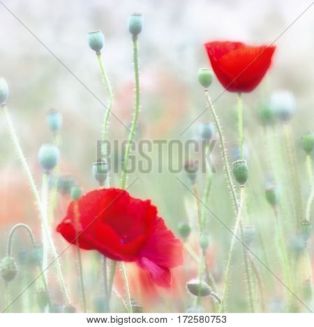 The last poppy flowers of summer. Beuatiful red wildflowers in a green meadow.