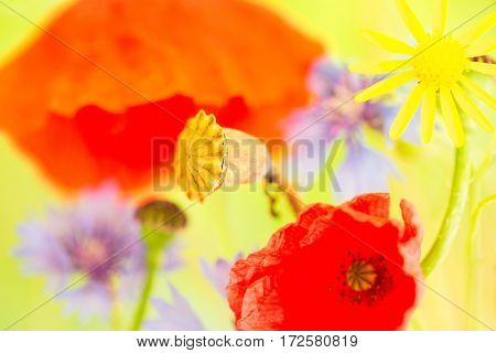 summer wildflower color red and blue wild poppy and cornflower.  Field flowers with poppies vivid colours
