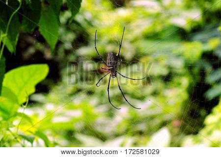 Black thin spider sitting and waiting on its prey in the middle of its web at daytime.