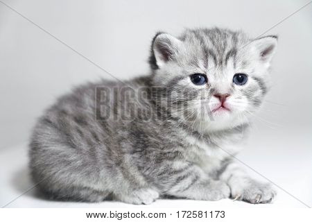 Portrait of a kitten is very beautiful. Cute purebred kitty show class
