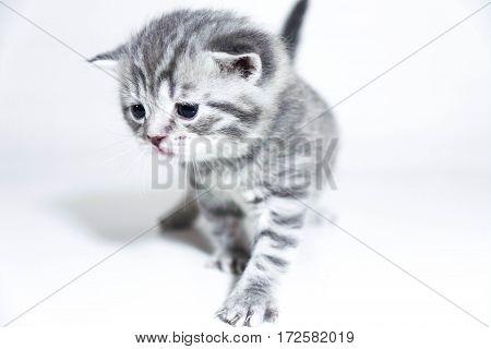 Sad kitten cute baby gray British beautiful kitten