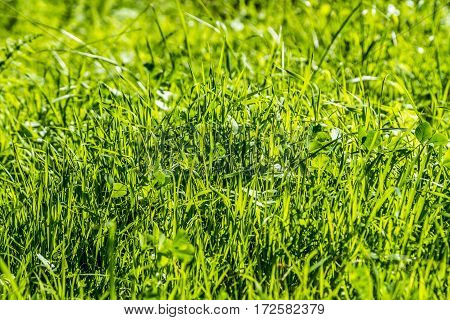 Green lawn grass background texture close-up selective focus