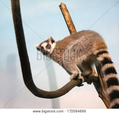 The lemur sits on a dry branch