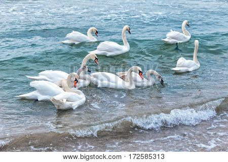 A large group of wild swans swim in the winter sea bay near the shore waiting for food from tourists and children