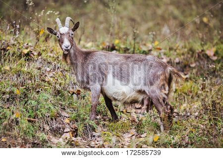 Grey goat with horns grazing in the meadow and eating grass mammals. Pet