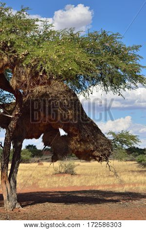 Beautiful namibian landscape with a big tree with nest Vachellia erioloba at sunset. Plants of the genus Alhagi are also sometimes called camelthorns or camel thorns or giraffe thorn