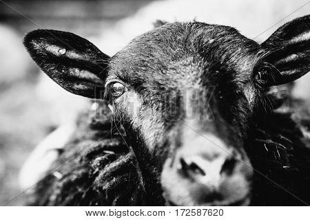 Black and white sheep looking at camera
