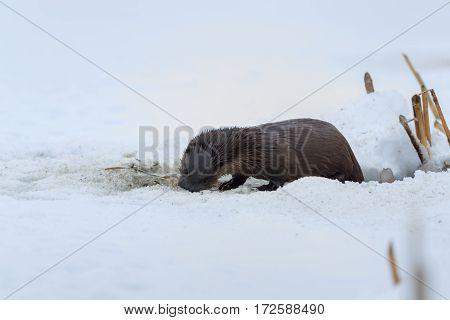 european otter (lutra lutra) in winter. Location: Comana Natural Park Romania