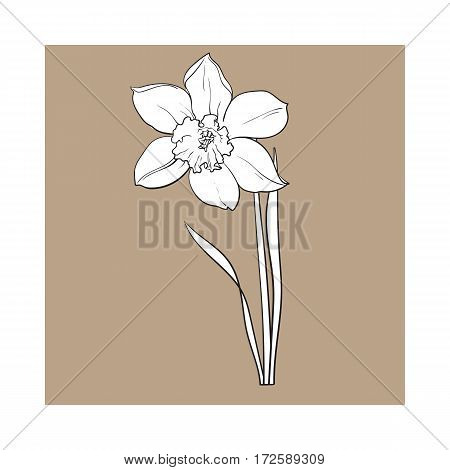Single daffodil, narcissus spring flower with stem and leaves, sketch vector illustration isolated on brown background. Realistic hand drawing of daffodil spring flower in vertical position