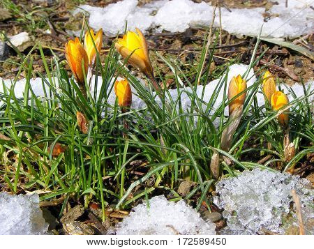 photography with scene first flowering spring crocus
